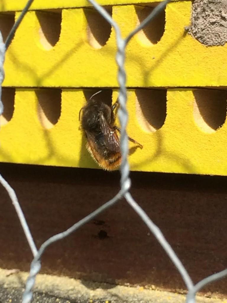 wilde bijen dragen het stuifmeel niet in mandjes maar op de buik. dit maakt ze tot effectievere bestuivers dan hommels en honingbijen