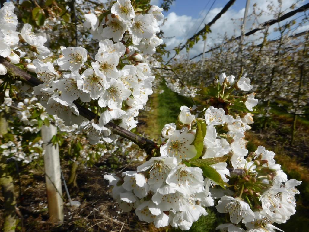 rosse metselbijen en gehoornde metselbijen bij Rob Janssen fruitbedrijf